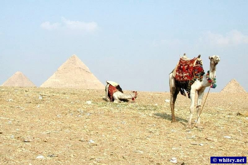 Camels near the pyramides, Giza, Ägypten.   أهرامات الجيزة